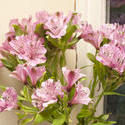 11833   Bouquet of pink Peruvian lilies with green leaves