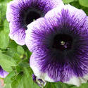 12935   Colorful variegated purple and white petunia