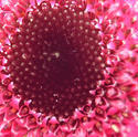 16881   The centre of a pink flower