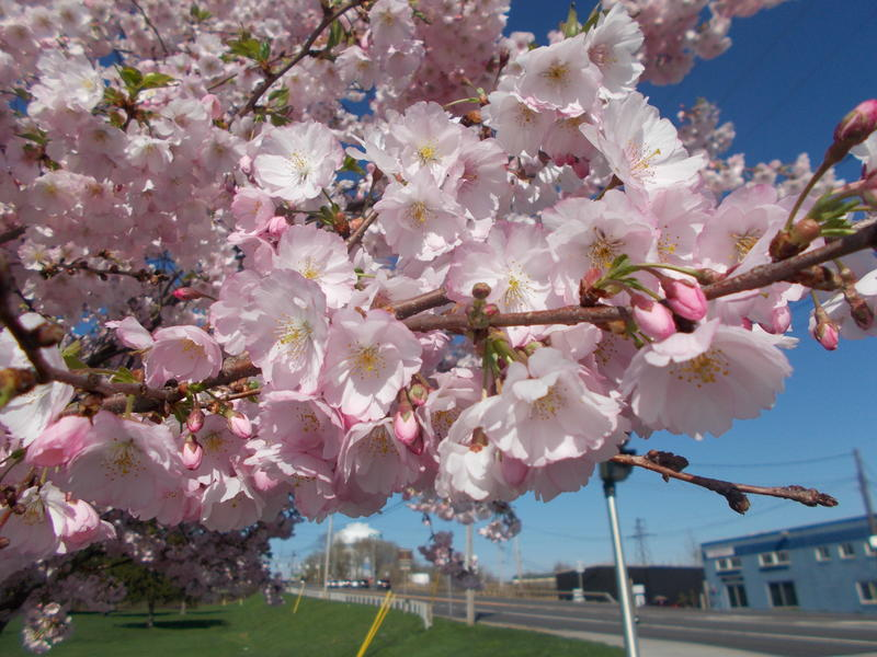 <p>Cherry-Blossom.jpg</p>