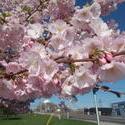 17117   Cherry Tree