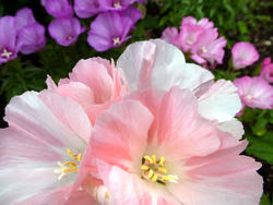 12938   Close up on pretty pink flowers