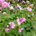 12939   Pink Flowers with Growing in Summer Garden