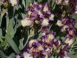 16996   Purple Iris