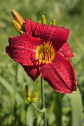 12051   red lily under norning sun