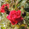 15645   Red Rose
