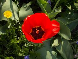16998   red tulip