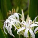 11834   White Lilys