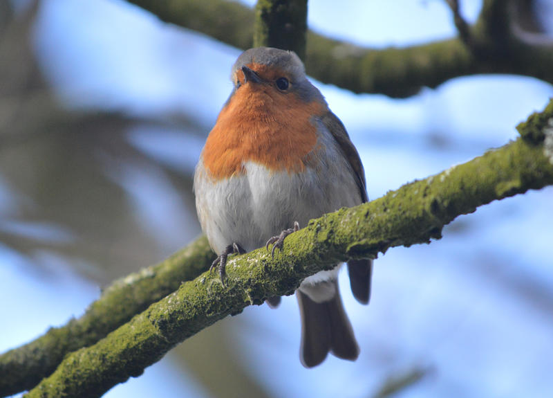 <p>I bird called a Robin photographed on a tree in the UK</p>