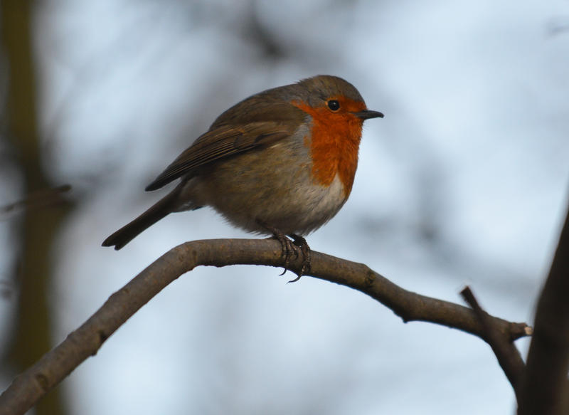 <p>A small bird called a Robin sitting in a tree</p>