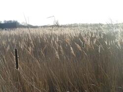 12550   shining reeds