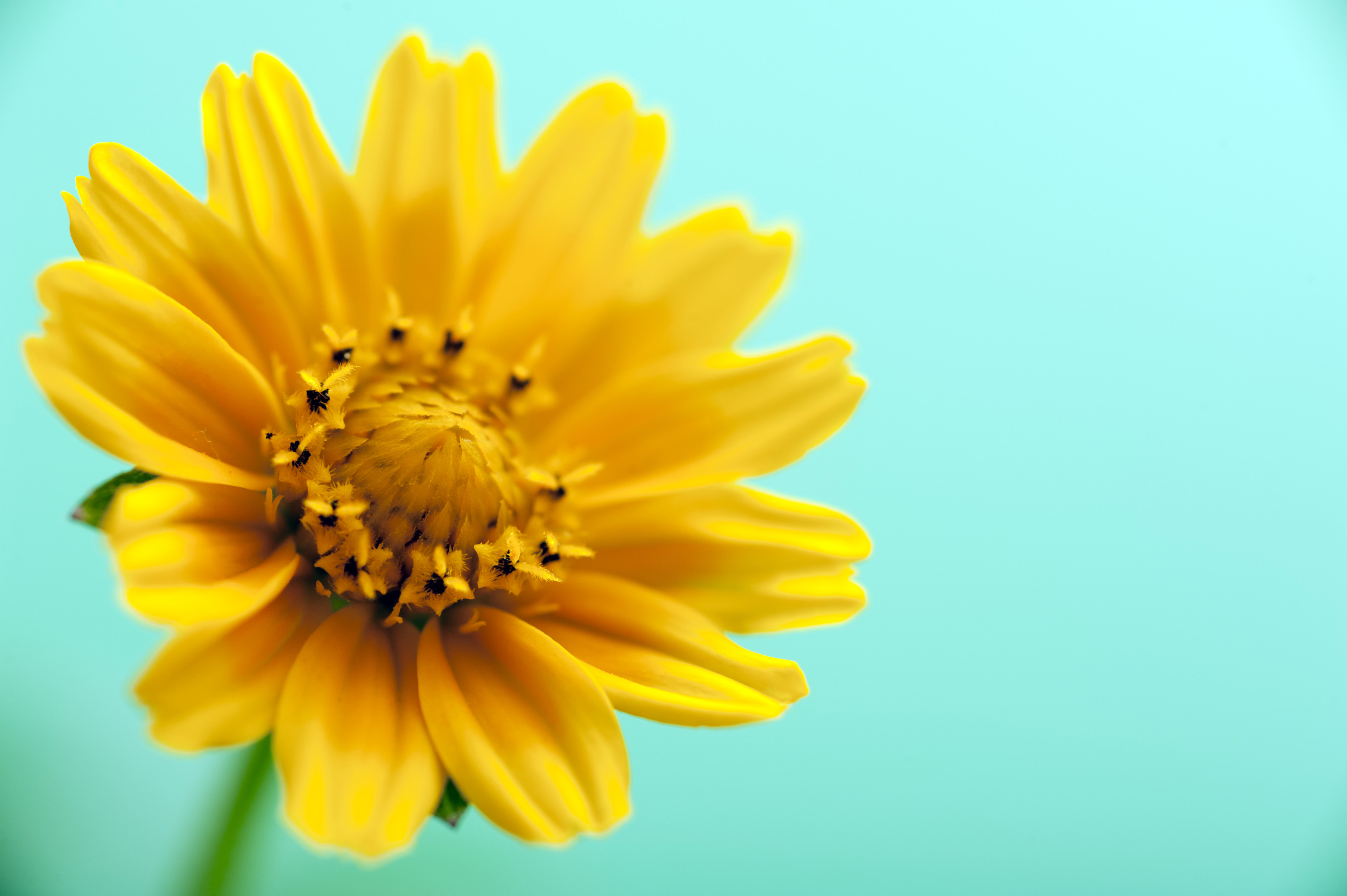 Free Stock Photo 13463 Yellow Flower Over Cyan Background