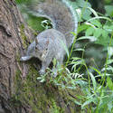 16897   A wild Grey Squirrel