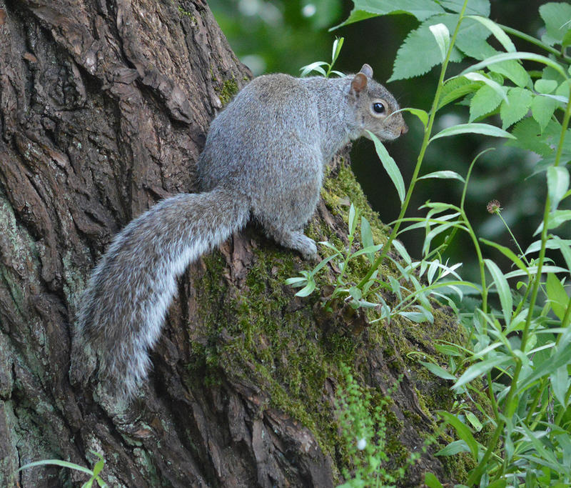 <p>A squirrel sat in a tree</p>