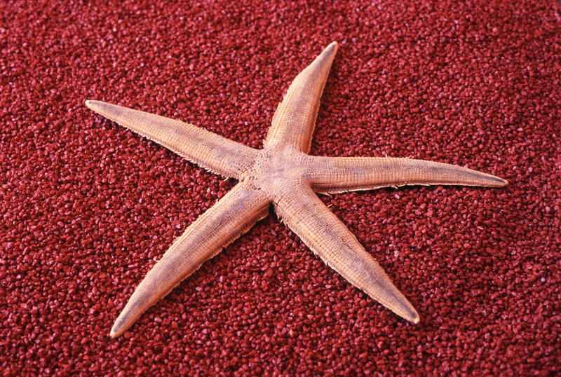 11847   Dried starfish on a red background