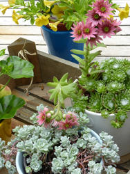12944   Potted flowering succulents on an outdoor deck