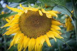 17047   Sunflower