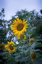 17048   Tall sunflower