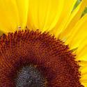 12947   Bright yellow sunflower or Helianthus