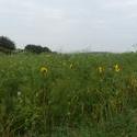 12556   sunflowers 3