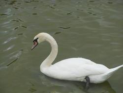 12560   swan