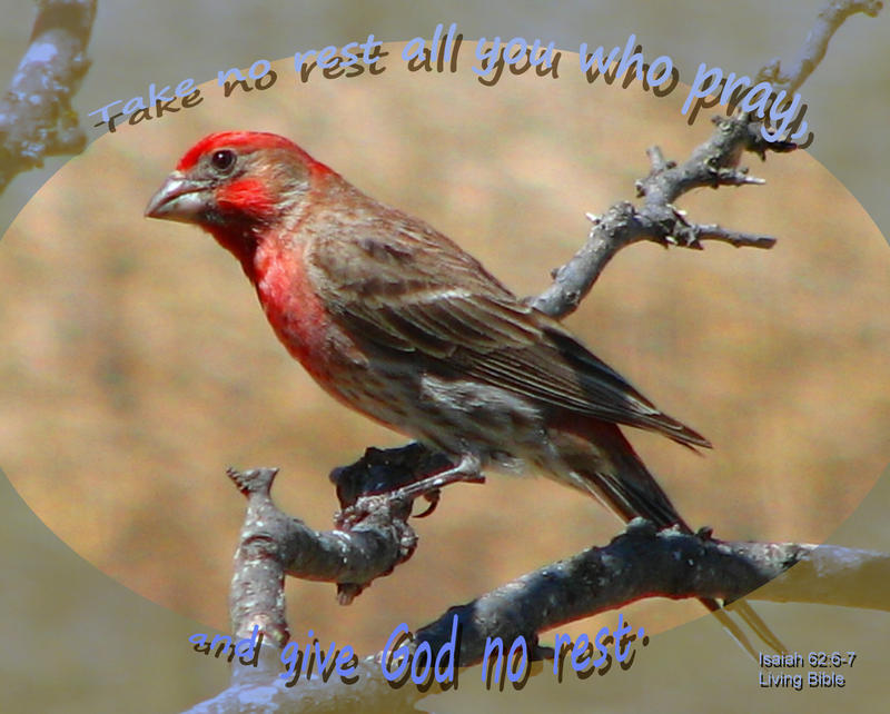 <p>House Finch perched on a branch</p>