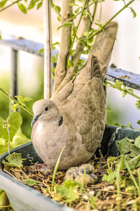 <p>Turtledoves</p>