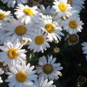 16961   White Daisy In The Sun