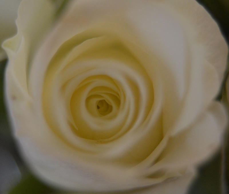 <p>A close up photo of a white rose</p>