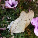 16951   White Butterfly