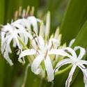 11837   Delicate white river lily