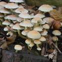 12604   woodland mushroom 4