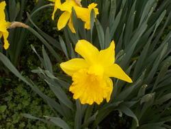 16978   Yellow Daffodil