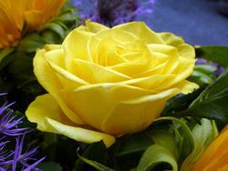 12913   Close up on beautiful yellow rose flower