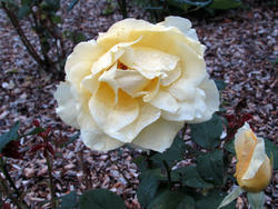 16970   yellow rose rain