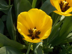 16997   yellow tulip