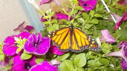 17501   Monarch Butterfly