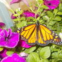 17501   Monarch Butterfly