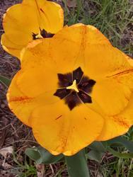 17526   Yellow Tulip