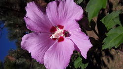 17499   A Beautifull Pink Hybiscus