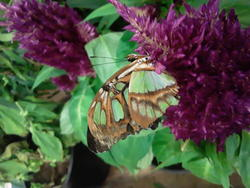 17573   A Beautifull Butterfly