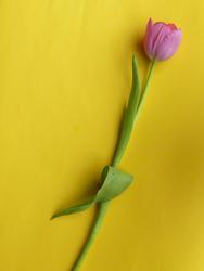 17333   Single fresh cut pink tulip on a yellow background