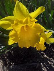 17515   Beautifull blooming daffodils