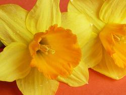 17344   Close up on a yellow daffodil with orange corona