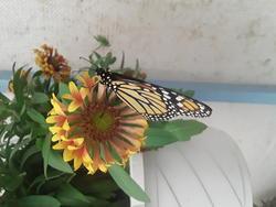 17565   A monarch butterfly