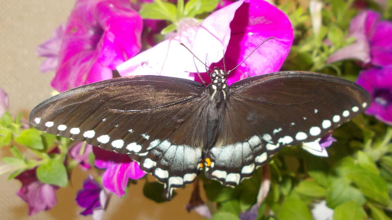 <p>A beautifull photo I took at the butterfly exhibit at the New York State Fair</p>