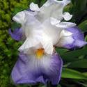 17534   Purple Iris