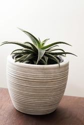 17390   Potted ornamental aloe in a ridge white flowerpot