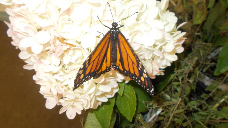 <p>A beautifull monarch butterfly</p>