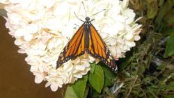 17491   Monarch Butterfly